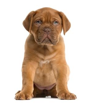Cucciolo di dogue de bordeaux seduto davanti a un muro bianco