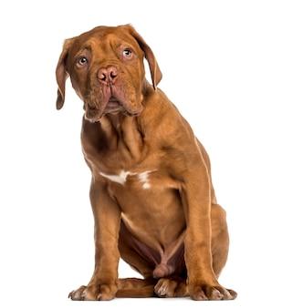 Dogue de bordeaux cucciolo seduto