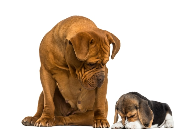 Dogue de bordeaux seduto e guardando un cucciolo di beagle nascosto