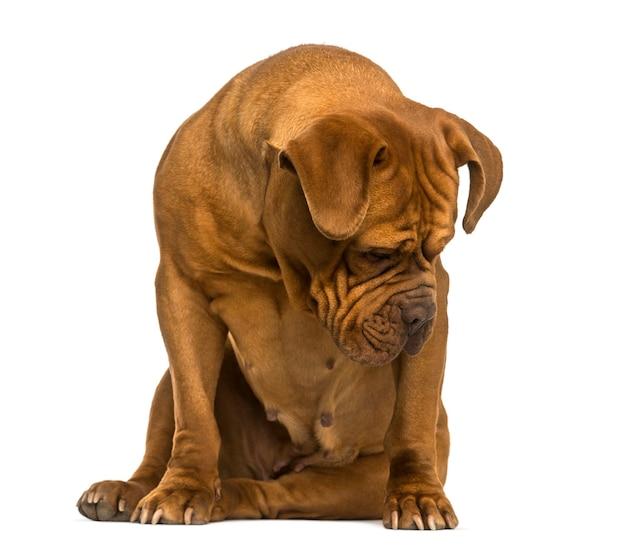 Dogue de bordeaux seduto guardando in basso isolato su bianco