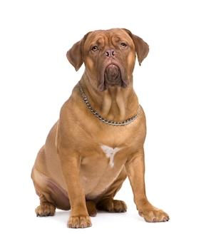 Dogue de bordeaux con 1,5 anni. ritratto di cane isolato