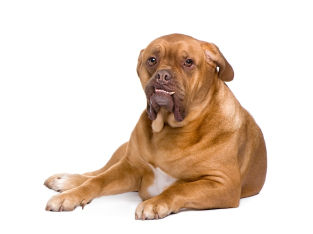 Dogue de bordeaux con 3 anni. ritratto di cane isolato