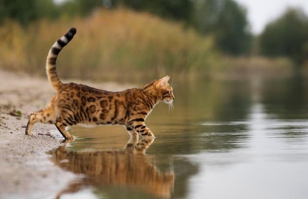 Gatto domestico del bengala a caccia sul lago