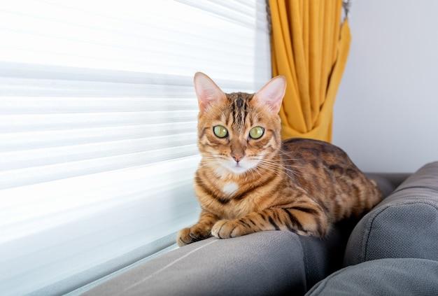 Un gatto bengala domestico si siede sul retro del divano nella stanza vicino alla finestra.