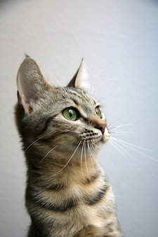 Gatto domestico al rifugio per animali in attesa di essere adottato