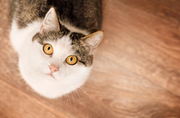 Primo piano del gatto domestico che guarda la telecamera, vista dall'alto