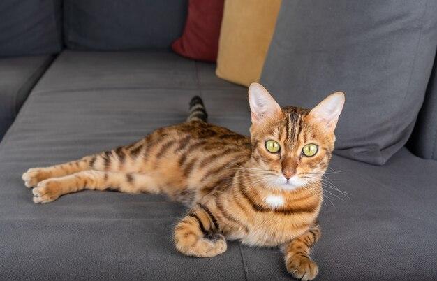Il gatto domestico sta riposando su un morbido divano grigio