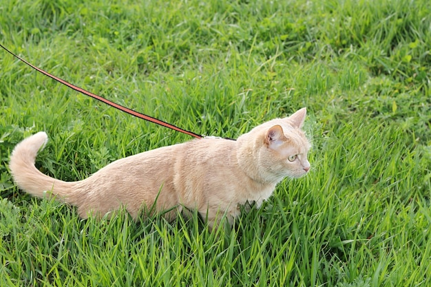 Il gatto domestico viene portato al guinzaglio