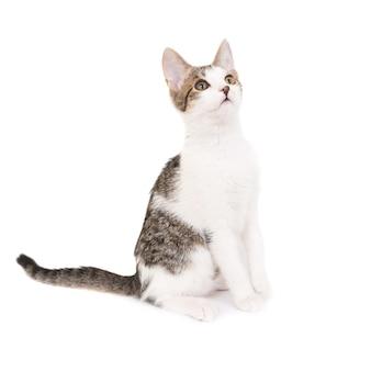 Gatto domestico, gattino isolato su sfondo bianco