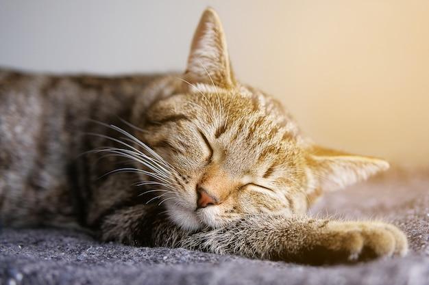 Gatto domestico giace e dorme su una coperta lavorata a maglia, appoggiando comodamente la testa sulla zampa.
