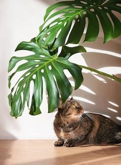 Il gatto domestico che si trova sotto le foglie di monstera sul muro di cemento bianco con ombre dalla pianta di monstera. minimalismo.
