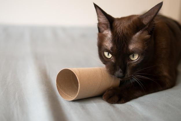 Il gatto domestico gattino al cioccolato sta giocando graffiando e morde il rotolo di carta velina marrone sul letto molto concentrato e divertente con le unghie