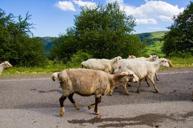 Animali da fattoria domestici in autostrada e su strada, gregge in movimento