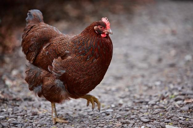 Gallo del villaggio delle uova di pasqua del pollame del pollo dell'azienda agricola domestica