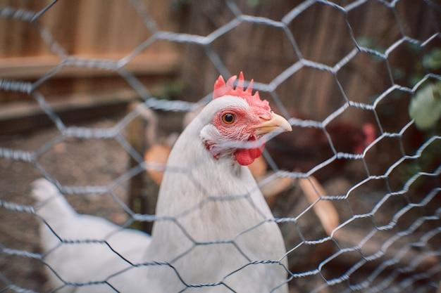 Gabbia del gallo del villaggio delle uova organiche di pasqua del pollame del pollo dell'azienda agricola libera del pollo