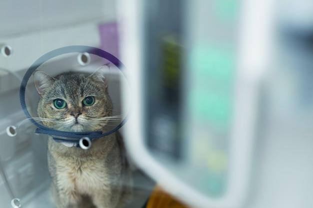 Il gatto domestico eterocromico indossa il collare di recupero dell'animale domestico del cono dopo l'intervento chirurgico, sicurezza di guarigione della ferita da leccare anti-morso