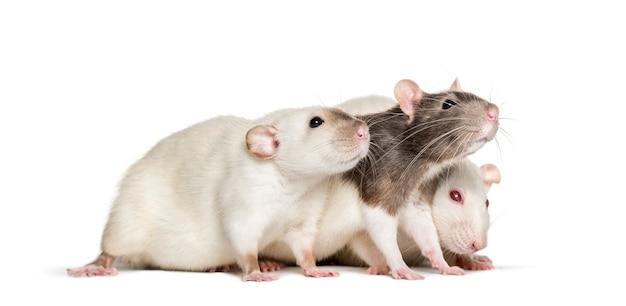 Ratti domestici contro bianco