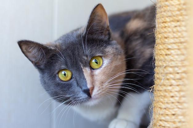 Il gatto tricolore domestico con grandi occhi giallo-verdi si siede all'interno accanto a un tiragraffi e guarda la telecamera. avvicinamento.