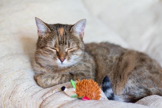 Il gatto mezzosangue tricolore domestico (bianco, grigio, rosso) con gli occhi chiusi giace sul divano con un giocattolo. avvicinamento.