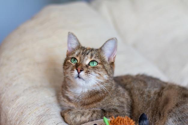 Il gatto mezzosangue tricolore domestico (bianco, grigio, rosso) con gli occhi verdi giace sul divano con un giocattolo. avvicinamento.