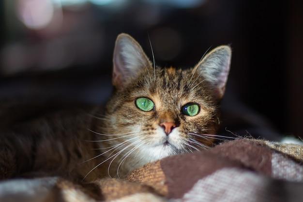 Il gatto meticcio tricolore domestico (bianco, grigio, rosso) con gli occhi verdi giace su una coperta. sole sul viso. primo piano, sfondo scuro, bokeh.