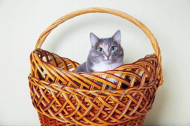 Il gatto meticcio domestico tricolore (bianco, grigio, rosso) con occhi giallo-verdi siede in un grande cesto marrone. primo piano, sfondo chiaro.