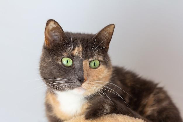 Gatto meticcio domestico tricolore (bianco, grigio, rosso) con occhi giallo-verdi su sfondo bianco. primo piano, vista dal basso.