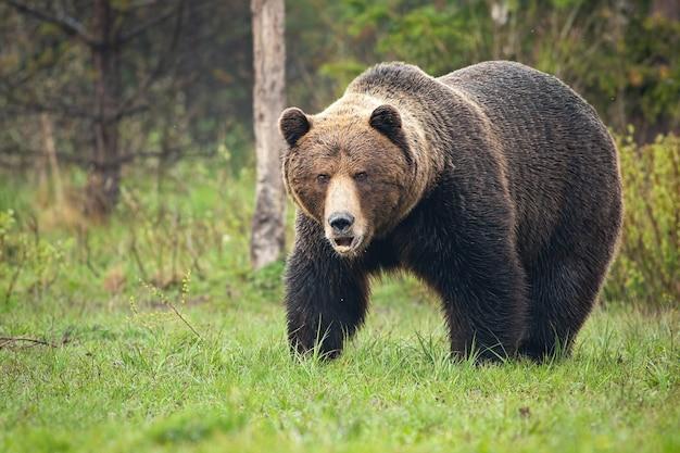 Orso bruno dominante che ruggisce sul prato nella natura primaverile