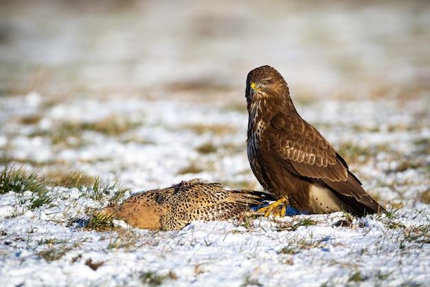 Dominante poiana comune seduto sul campo nevoso con la sua preda in inverno