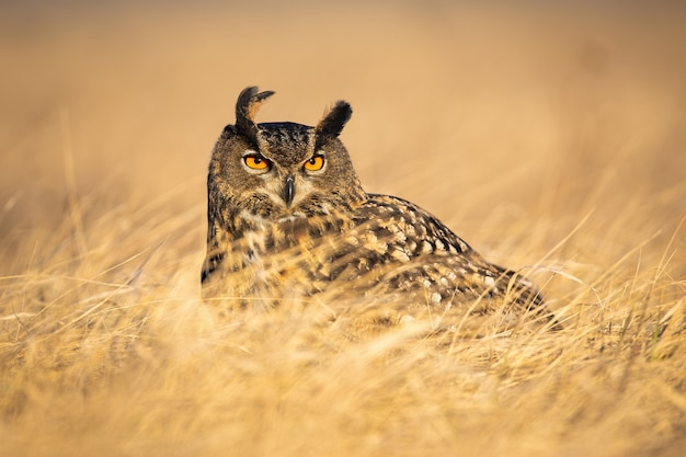 Gufo reale eurasiatico dominante che osserva attentamente con gli occhi arancioni