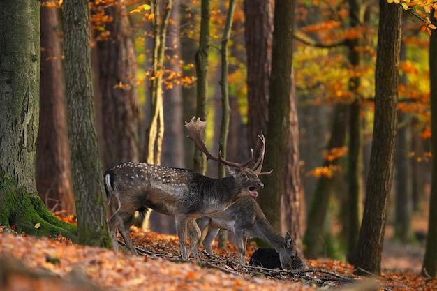 Daino dominante che ruggisce nella foresta in autunno