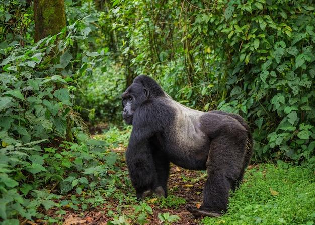 Gorilla di montagna maschio dominante nella foresta pluviale. uganda. parco nazionale della foresta impenetrabile di bwindi.