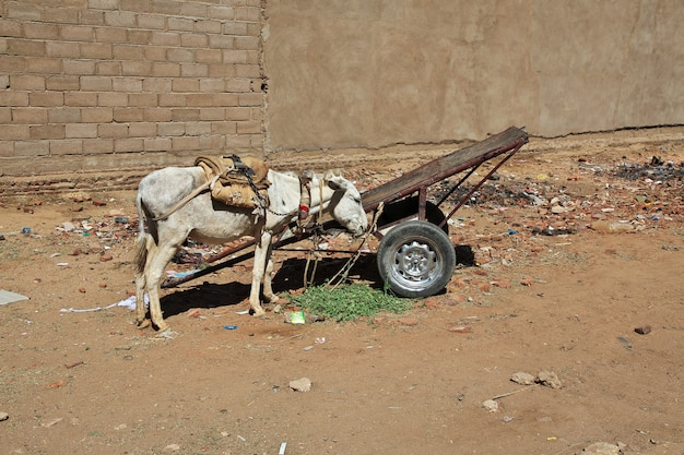 L'asino in karma, sudan, africa