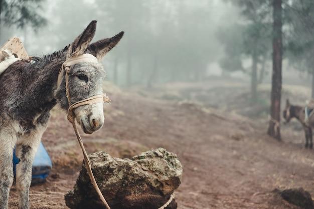 Asino in piedi lateralmente nella pineta all'inizio nebbiosa mattina. santo antao capo verde.