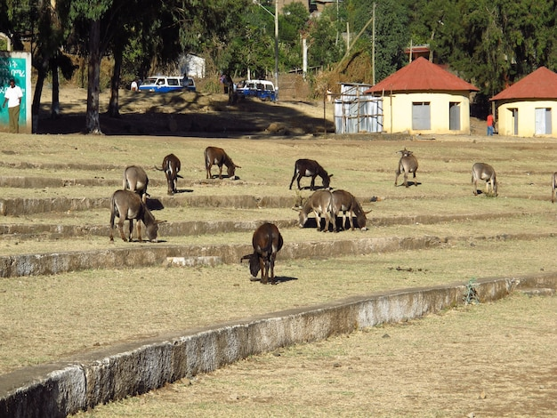 Asini nella città di gondor, etiopia