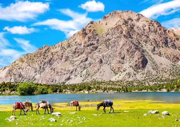 Gli asini pascolano vicino al lago di montagna sullo sfondo delle montagne di fann, in tagikistan. asini per il trasporto di merci