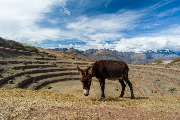 Asini al centro archeologico murena urubamba cuzco perù