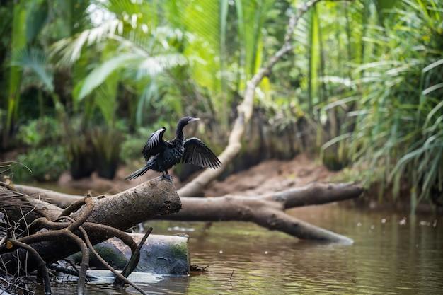 Cormorano a doppia cresta che stende e asciuga le ali vicino al piccolo canale amazzonico