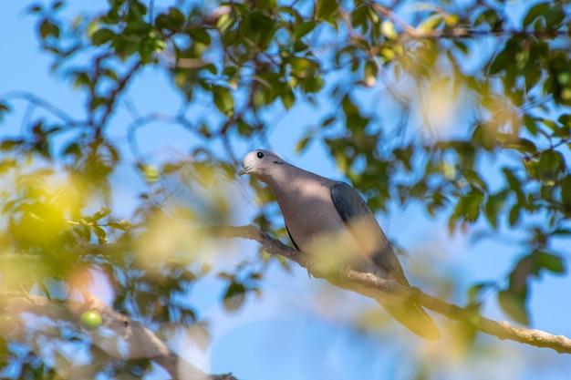 Colomba, una bella colomba che sfrutta i rami di un albero di jabuticaba per riposare, messa a fuoco selettiva.
