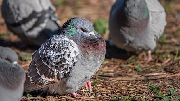 Colomba, piccione su sfondo sfocato, da vicino