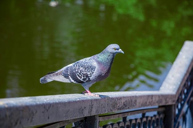 Colomba si siede sulla ringhiera del ponte