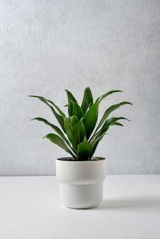 Dracaena compacta in un vaso bianco su sfondo grigio. concetto di casa e giardino.