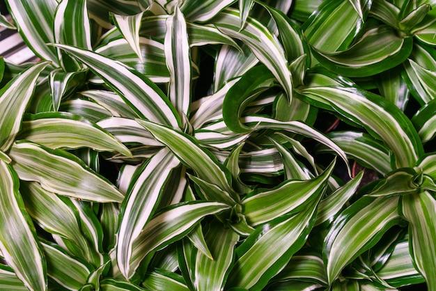 Dracaena deremensis foglie da vicino primo piano di verde con foglie bianche pianta dracaena o dracaena a...