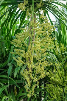Dracaena loureiri gagnep fiori, fiori agavaceae. dracaena cochinchinensis fiori su albero.