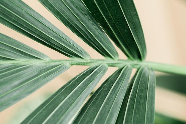 Macro della palma da dracaena su fondo bianco con la nuova foglia. concetto di giardinaggio domestico. lussureggiante