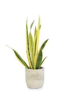 Dracaena trifasciata (sansevieria laurentii o pianta di serpente) in vaso di cemento ad alto dettaglio su sfondo bianco. impianto di purificazione dell'aria. immagine con tracciato di ritaglio
