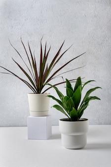 Dracena marginata e dracaena compacta piante in vaso in vasi bianchi su sfondo grigio. concetto di casa e giardino.