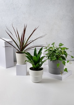 Dracena marginata, hedera helix e dracaena compacta piante in vaso in vasi su sfondo grigio. concetto di casa e giardino.