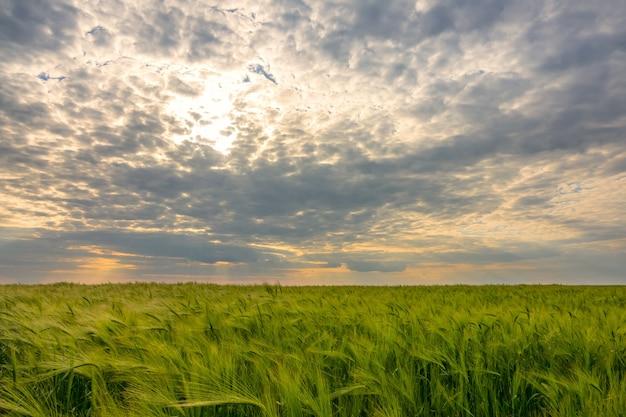 Cielo drammatico sul campo di grano verde