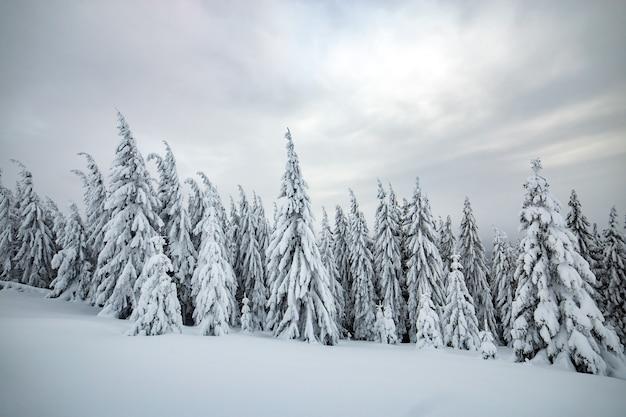 Drammatico paesaggio invernale con foreste di abeti rossi rannicchiati con la neve bianca in montagne ghiacciate.